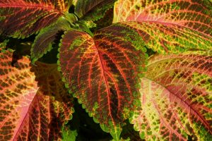 colorful-nettle-1620716_1280